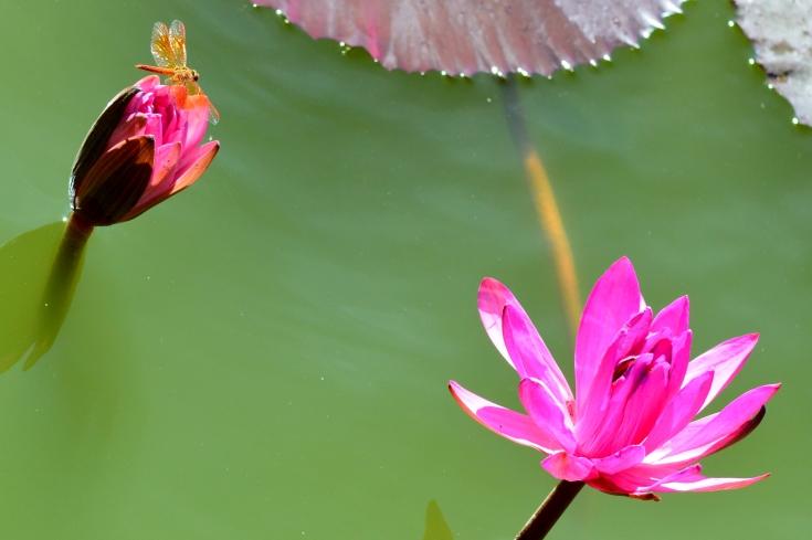 Lotus et libellule