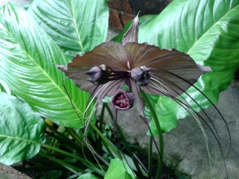 Orchidée vampire