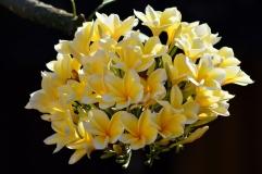 Fleurs de pluméria